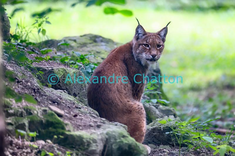 Lynx d'Eurasie