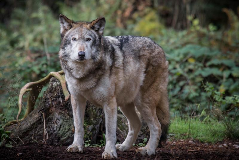Wolf, NW Trek