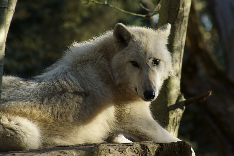 Took me a while to get this wolfs attention. Taken at the Seattle Zoo.
