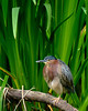 While this little Green Heron was photographed in the Seattle Zoo, I believe he was a guest.