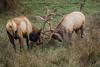 Elk, NW Trek