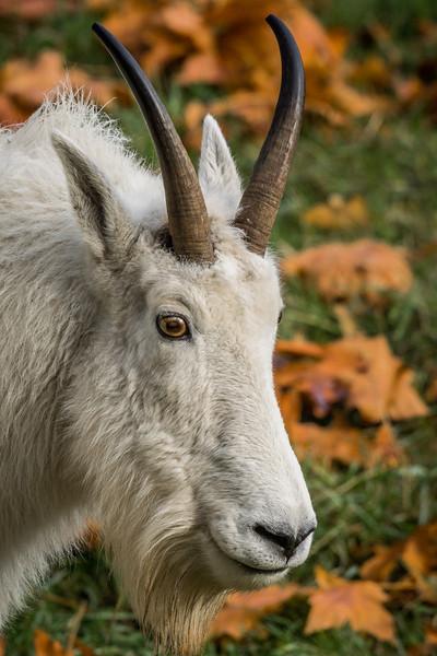 Female Goat, NW Trek