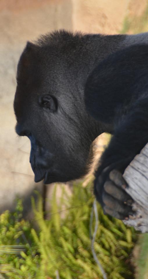 2013 10 27 Gorillas with Pumpkins