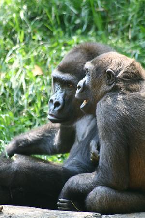 Zoo Atlanta, April 2007.  © 2009 Joanne Milne Sosangelis. All rights reserved.