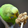 """Budgie"" Budgerigar (or Parakeet). Zoo Atlanta, August 2009. <br /> © 2009 Joanne Milne Sosangelis. All rights reserved."