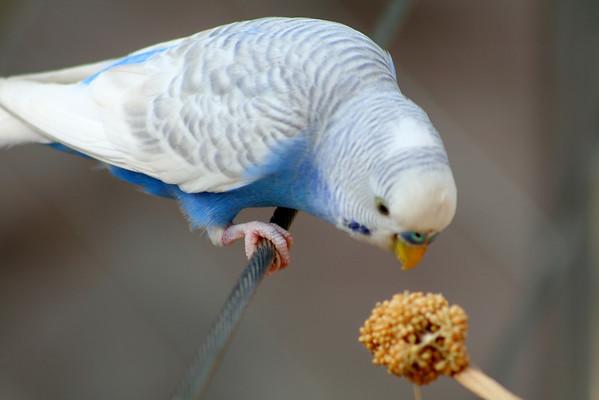 """Budgie"" Budgerigar (or Parakeet). Zoo Atlanta, August 2009. <br /> © 2009 Joanne Milne Sosangelis. All rights reserved."