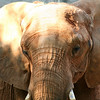 African Elephant. Zoo Atlanta, August 2009. <br /> © 2009 Joanne Milne Sosangelis. All rights reserved.