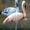 Chilean Flamingos. Zoo Atlanta, August 2009. <br /> © 2009 Joanne Milne Sosangelis. All rights reserved.