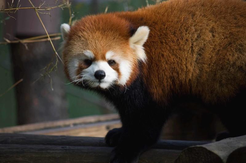 Red-Panda-Face-307-B