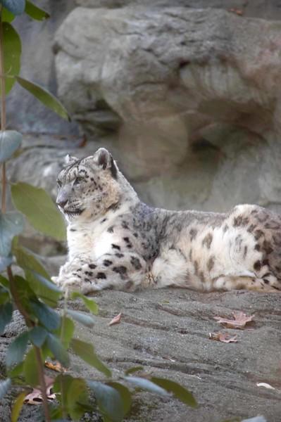 Snow-Leopard-627-B