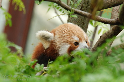 Red Panda -- DSC_0377r