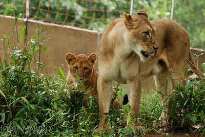 Mama lion and cub -- DSC_0246Orig