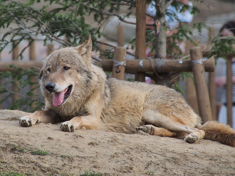 暑さでダウンしているのでしょうか。狼というより犬のようでした。