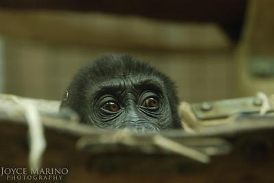 Baby Gorilla 'peek a boo' --