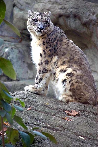 Snow-Leopard-0630-B
