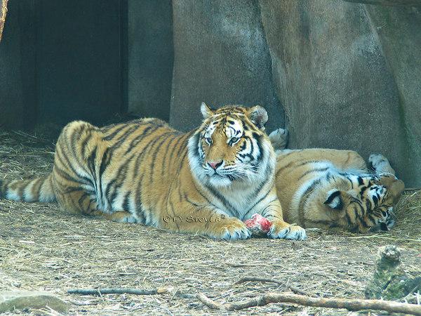 Tiger<br /> © Pamela Stover<br /> Exposed Images