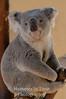 Contented Koala