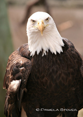 Bald Eagle<br /> © Pamela Stover<br /> Exposed Images Photography