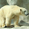 Polar Bear<br /> © Pamela Stover<br /> Exposed Images Photography