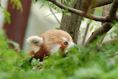 Red Panda -- DSC_0376r