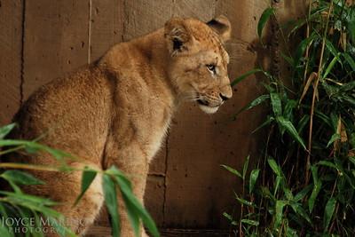 Lion Cub -- DSC_0259r