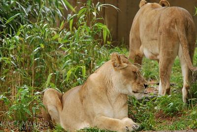 Lioness -- DSC_0270r