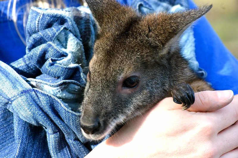 Baby-Wallaby--537-B