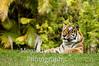 Bengal tiger at rest