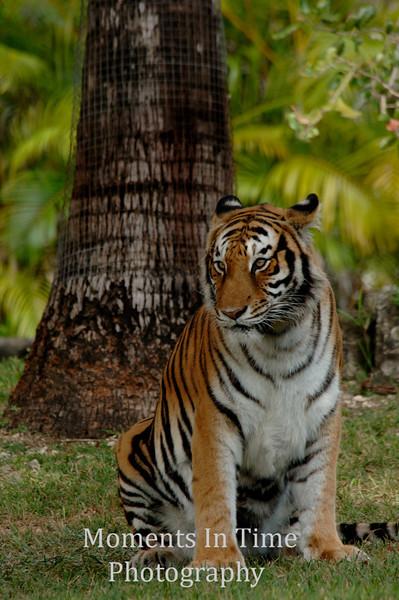 Bengal tiger v