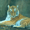 Tiger<br /> © Pamela Stover<br /> Exposed Images Photography