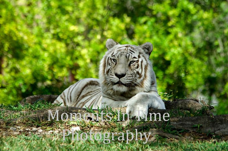 White bengal relaxing