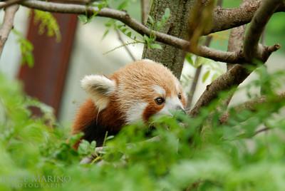 Red Panda -- DSC_0377Orig