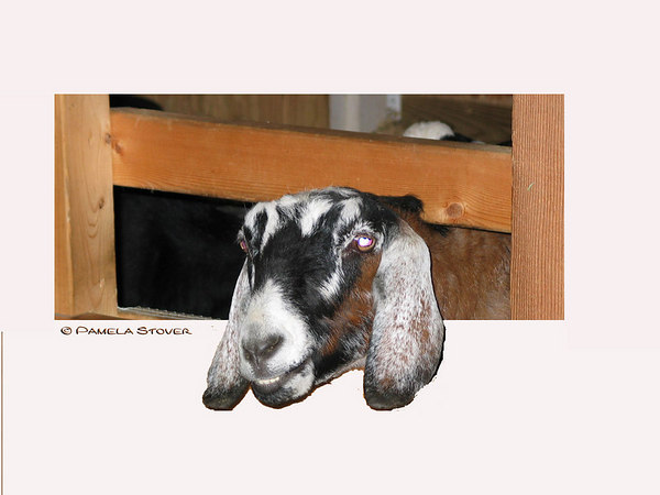 Goat<br /> © Pamela Stover<br /> Exposed Images Photography