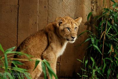 Lion cub -- DSC_0257r