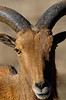 Exotic goat