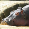 Hippo<br /> © Pamela Stover<br /> Exposed Images