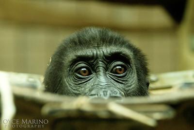 Baby Gorilla 'peek a boo' -- DSC_0288r