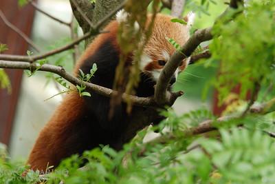 Red Panda -- DSC_0382