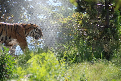 Siberian Tiger -- DSC_0308-2