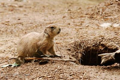 Prairie Dog -- DSC_0744r