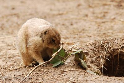 Prairie Dog -- DSC_0729r
