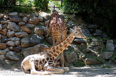 Beautiful giraffes at the Washington Zoo -- 0003850872953
