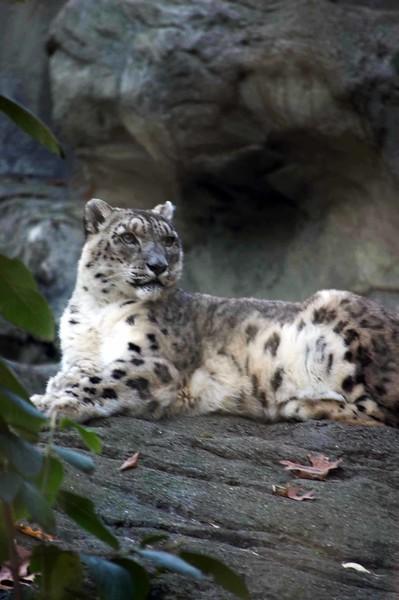 Snow-Leopard-0625-B