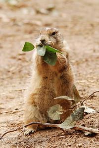 Prairie Dog -- DSC_0741rvert