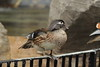 Female Wood Duck at Washington National Zoo --DSC_6592