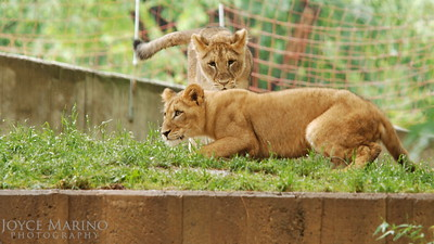 Lion cubs playing -- DSC_0221