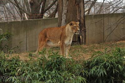 Lioness -- DSC_6790