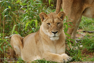 Lioness -- DSC_0274r