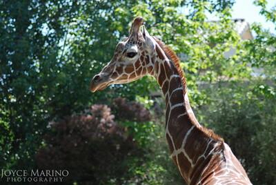 Giraffe at the Washington Zoo - 0003848808705