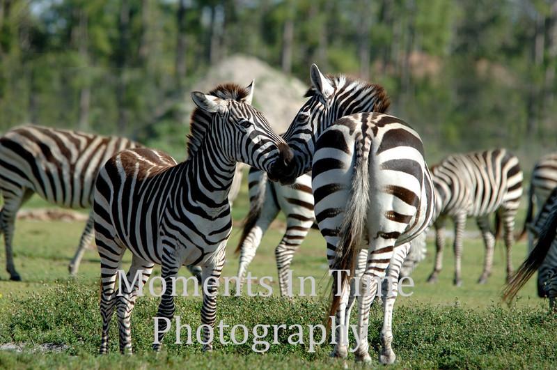 Zebra encounter